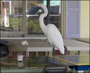 Spike the Great White Egret at Cooks